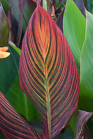Huge plant leaf of striped Canna Durban