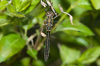 American Emerald (Cordulia shurtleffii) Dragonfly - Female, Algonquin Provincial Park, Nipissing County, Ontario, Canada