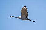 Damon, Texas; a Sandhill Crane flying overhead against a blue sky in morning sunlight