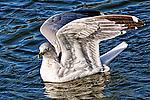 Floating Gull 2, Upper Newport Bay, CA