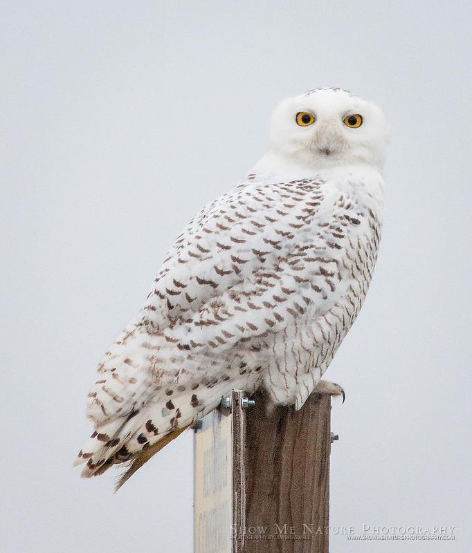 Snowy Owl sitting on a post at Wah-Sha-She Prairie, Missouri
