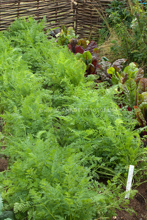 Carrots Bolero and beets growing in garden