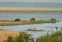 Nijlpaard (Hippopotamus amphibius)