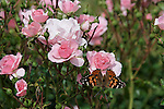 PAINTED LADY BUTTERFLY, VANESSA CARDUI, ON BONICA ROSE, ROSA HYBRID