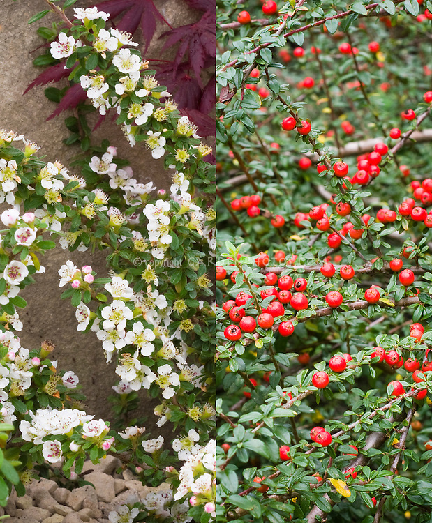 Cotoneaster conspicuus in two phases, flowers and berries