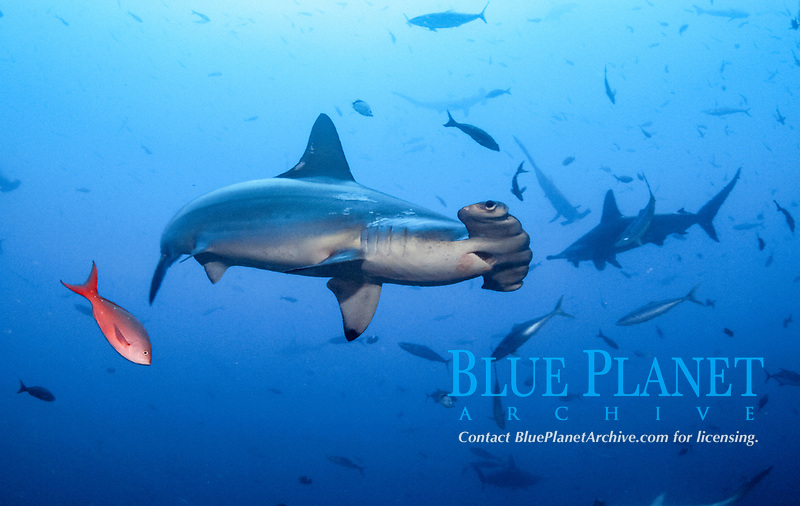 scalloped hammerhead shark, Sphyrna lewini, also known as the bronze, kidney-headed or southern hammerhead, Pacific creolefish, Paranthias colonus, endangered scalloped hammerhead shark swimming with Pacific creolefish, Cocos Island National Park, Costa Rica, Pacific Ocean