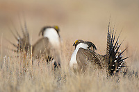 Two adult male Gunnison Sage-Grouse (Centrocercus minimus) displaying at a lek. Gunnison County, Colorado. April.