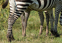 A Grant's Zebra colt, Equus quagga boehmi, stands behind its mother in Lake Nakuru National Park, Kenya