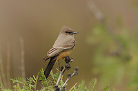 Say's Phoebe (Sayornis saya), adult, Chisos Basin, Chisos Mountains, Big Bend National Park, Chihuahuan Desert, West Texas, USA