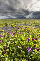 Pink beach pea blossoms and landscape of a summer meadow in Katmai National Park, Alaska Peninsula, southwest Alaska.