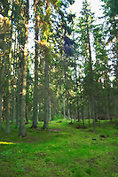 Fir trees in a forest with green forest floor covered with lush moss. Smaland region. Sweden, Europe.