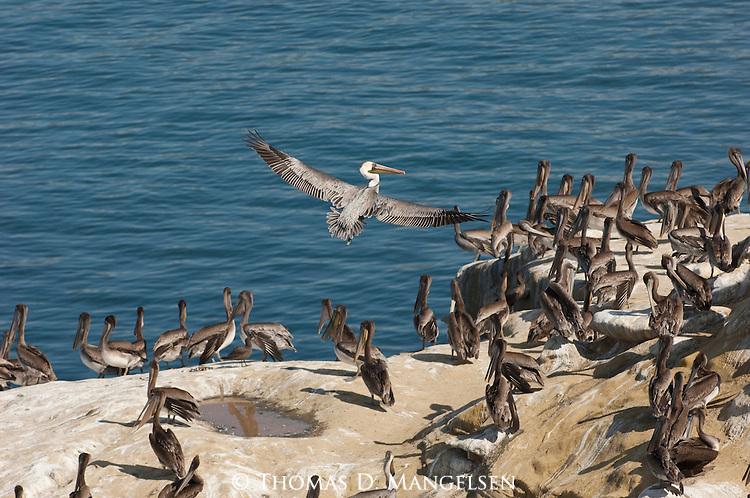 Brown pelicans roost on the shore in La Jolla, California.