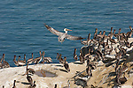 Brown pelicans roost on the shore in La Jolla, California.