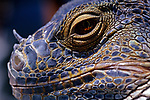 Iguana lizard at family reptile show close-up of face and scales, Seattle, Washington State USA