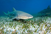 lemon shark, Negaprion brevirostris, with remora, sharksucker, swimming over seagrass, Bahamas, Atlantic Ocean