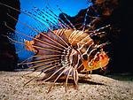 Spanien, Kanarische Inseln, Teneriffa, Puerto de la Cruz: Loro Parque - Skorpionfisch im Aquarium | Spain, Canary Islands, Tenerife, Puerto de la Cruz: Loro Parque - Scorpionfish at aquarium
