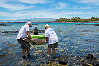 WHMMRN volunteers Art Tarsa (left) and Bob Gladden (right) carry carcass of Hawaiian monk seal, Neomonachus schauinslandi, with fishing line coming out of mouth out to kayak for transport; 8 month old juvenile male named Keokea, necropsy later confirmed that seal died due to lung punctured by fishing hook; Keawaike Bay, South Kohala, Hawaii Island ( the Big Island ), Hawaii, USA