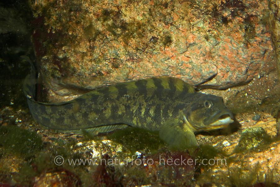 Aalmutter, Aal-Mutter, Zoarces viviparus, eel pout, viviparous blenny