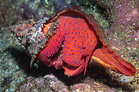 Foot of the magnificent tulip or panamic horse conch, Pleuroploca sp., Galapagos Islands, Ecuador, Pacific Ocean