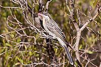 Spiny-Cheeked Honeyeater, Kata Kjuta, NT Outback, Australia