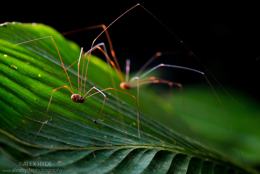 Harvestman {Opiliones} Corcovado National Park, Osa Peninsula, Costa Rica, May.