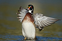 Wood Duck (Aix sponsa), adult male flapping wings, Hill Country, Central Texas, USA