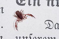 Bücherskorpion, Pseudoskorpion, Afterskorpion, Chelifer cancroides, book scorpion, scorpion des livres, chélifère cancroïde, Pseudoskorpione, Afterskorpione, Bücherskorpione, Pseudoscorpiones, Pseudoscorpionida, pseudoscorpion, false scorpion, book scorpion, pseudoscorpions