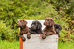 Labrador retriever puppies in a duck decoy box.