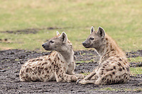 Spotted Hyenas (Crocuta crocuta), Liuwa Plain National Park, Western Province, Zambia, Africa