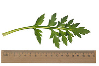 Klatsch-Mohn, Klatschmohn, Mohnblume, Klatschrose, Mohn, Papaver rhoeas, Corn Poppy, Field Poppy, common poppy, corn rose, Flanders poppy, red poppy, Le coquelicot. Blatt, Blätter, leaf, leaves