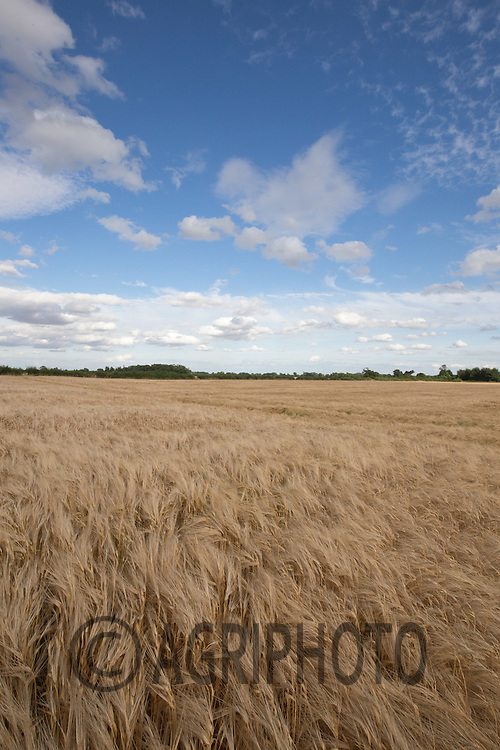 Barley field in Lincolnshire<br /> Picture Tim Scrivener 07850 303986<br /> ….covering agriculture in the UK….