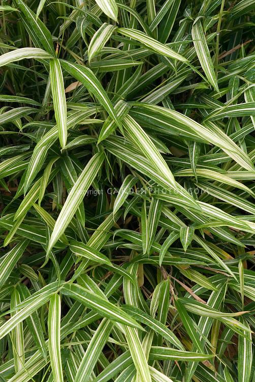 Pleioblastus shibuyanus 'Tsuboi' Dwarf Fernleaf Bamboo showing many variegated green & white leaves and stems