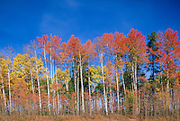 Trembling Aspen Trees (Populus tremuloides), Northern BC, British Columbia, Canada - Autumn / Fall