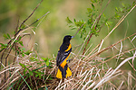 Baltimore oriole in northern Wisconsin.