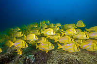 Panamic Porkfish, Anisotremus taeniatus, schooling, Cabo Pulmo National Park, Baja California Sur, Mexico, Gulf of California, Sea of Cortez, Pacific Ocean