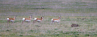 Pronghorns and coyotes have an unusual relationship, often chasing each other.  Here, a bachelor herd of pronghorns trotted in formation while keeping an eye on the coyote.