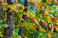 Parrotia persica (Persian Ironwood) small tree branch in fall color in Gary Ratway garden