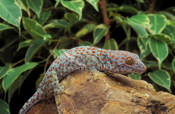 TOKAY GECKO..Native to southeast Asia..(Gekko gecko). Captive.