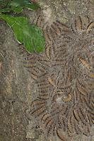 Eichen-Prozessionsspinner, Eichen - Prozessionsspinner, Eichenprozessionsspinner, Raupe, Raupen, Gespinstnest, Gespinstsack am Stamm einer Eiche, hier verbringen die Raupen den Tag und verpuppen sich schließlich, Thaumetopoea processionea, oak processionary moth