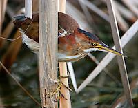 Least bittern juvenile in reeds