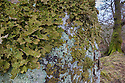 Tree Lungwort {Lobaria pulmonaria} lichen growing on a mature beech tree. Kyle of Lochalsh, Scotland. March.