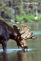MS01-045z  Moose - bull (male) feeding at Sandy Stream Pond in Baxter State Park, Maine - Alces alces