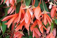 Begonia 'Million Kisses Romance'