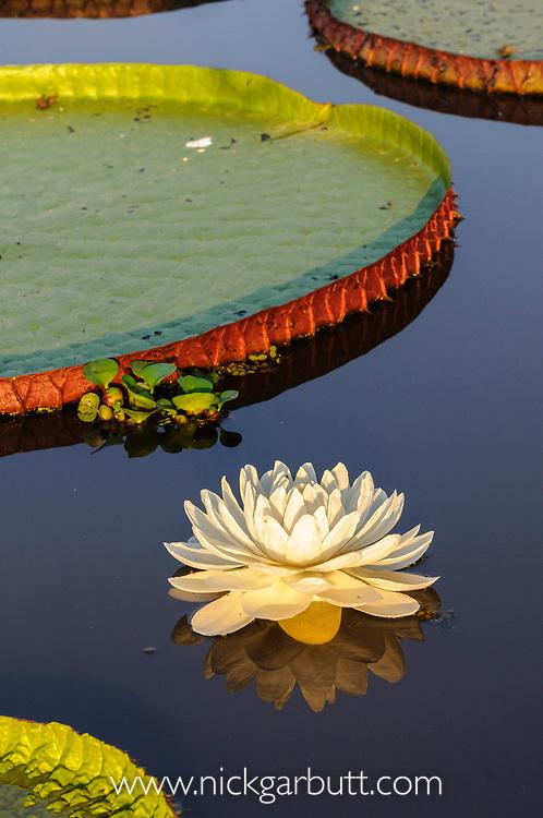 Giant Water Lilies (Victoria amazonica) on a lake near Cuiaba River, Northern Pantanal, Brazil.