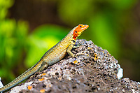 Portrait of endemic Albemarle lava lizard sunbathing on a volcanic stone, with blurred green vegetation background in the Galapagos Islands, Ecuador