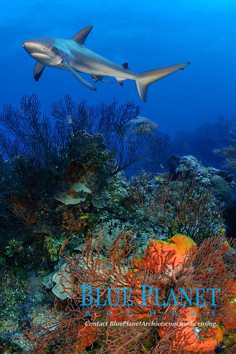 Caribbean reef shark, Carcharinus perezii, on coral reef with orange elephant ear sponges, Agelas clathrodes, Bahamas (W. Atlantic) (do)