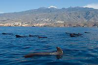 Short finned pilot whales (Globicephala macrorhynchus) in Tenerife, Canary islands, Spain.