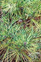 Pinus densiflora Oculus-draconis variegated Japanese Red Pine tree