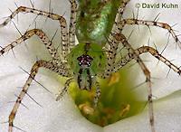 "0205-07nn  Green Lynx Spiderling  - Peucetia viridans  ""Eastern Variation"" - © David Kuhn/Dwight Kuhn Photography"