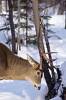White-tailed deer buck rubbing antlers on tree.  Great Lakes Region.  Nov.